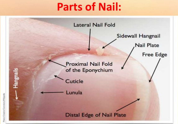 parts of cuticle